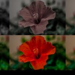 Flower chromium by Gian Carlo Corba - MonkeyPix dot org